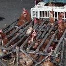 Chickens, Ecuador by J Forsyth