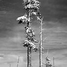 Snow Covered Pine in Black and White by North22Gallery