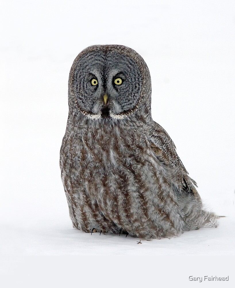 Down Low With A Great Gray Owl by Gary Fairhead