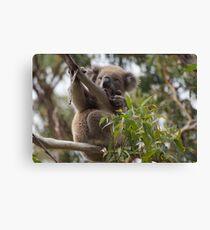 Koala on Otway Lighthouse Road Canvas Print