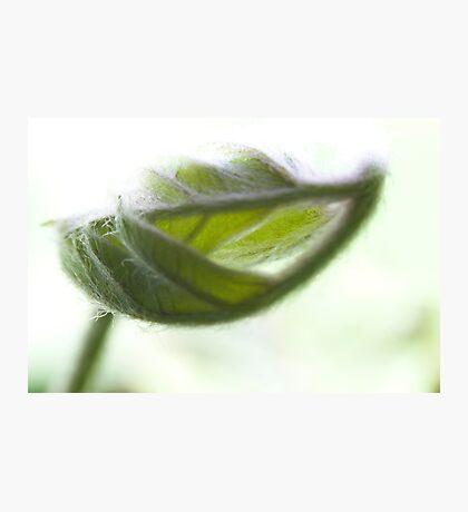 Baby Leaf Photographic Print