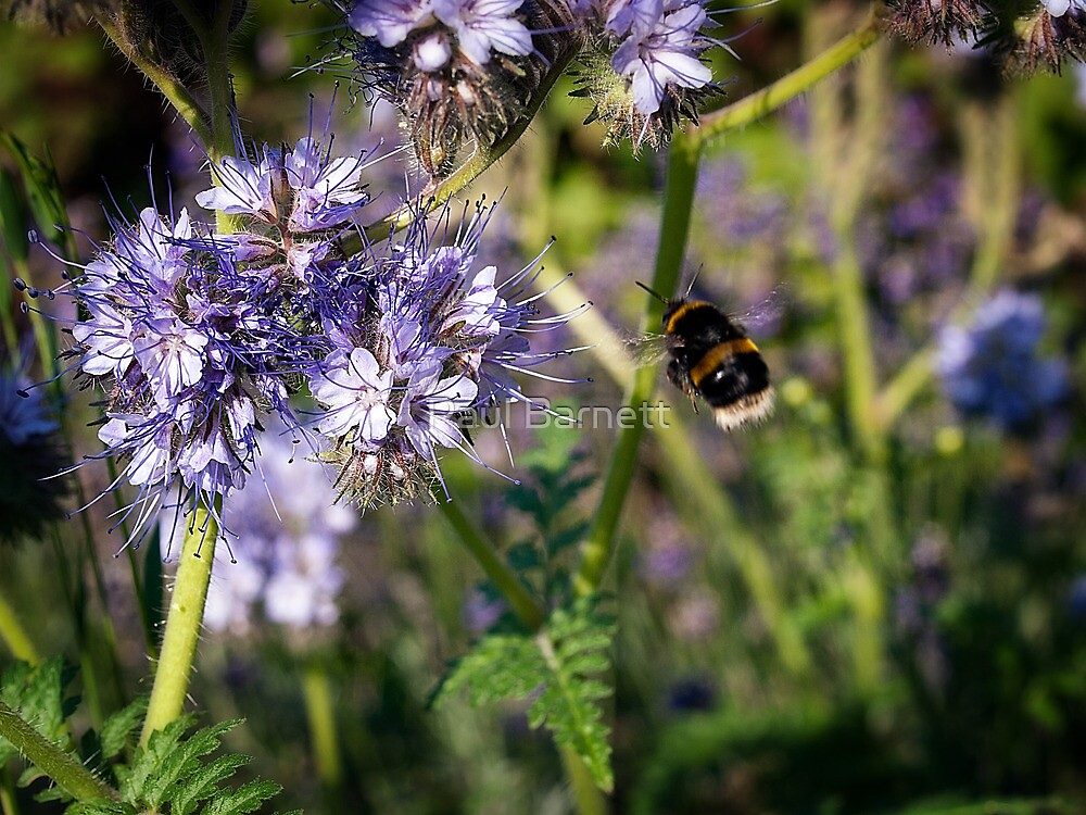 Flight of the Bumble Bee by Paul Barnett