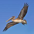 Female Brown Pelican In Flight by Kathy Baccari