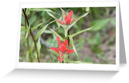 Indian Paintbrush ((Castilleja sp.) by Leslie van de Ligt