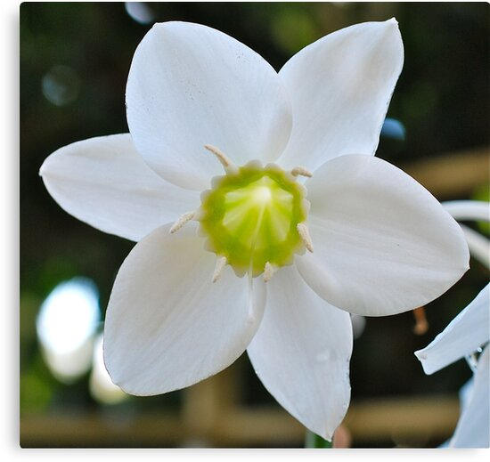 Eucharist Lily by Penny Smith