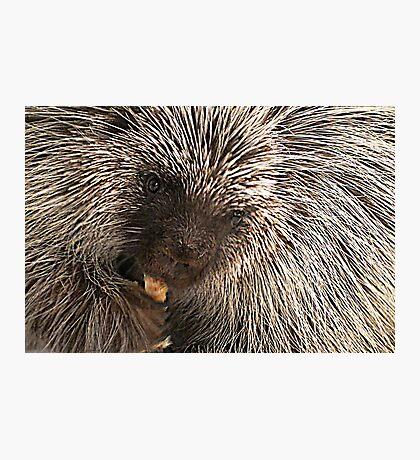 North American (Common) Porcupine Photographic Print