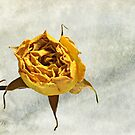 Withered Rose #2 by glennc70000