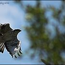 Falcon in flight by Greg Parfitt