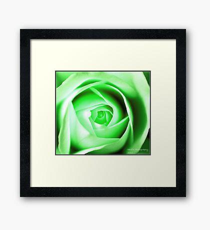 green rose Framed Print