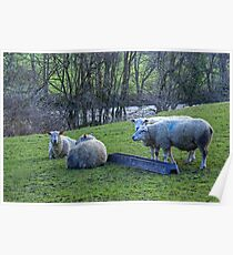 Four Sheep Poster