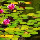 Water Lilies in Balboa Park by Gerda Grice