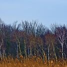 White Birch by jules572