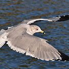 Ring Billed Gull In Flight by Kathy Baccari