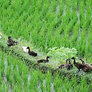 Ducks all in a row by Michael Brewer