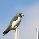 Swallow Rest by byronbackyard