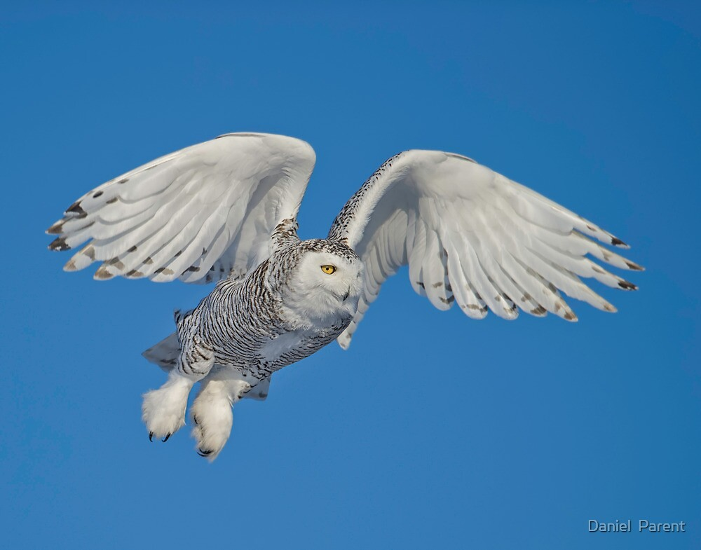 Leaping Snowy  by Daniel  Parent