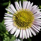 Erigeron by dilouise