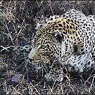 Stalking leopard! by Greg Parfitt