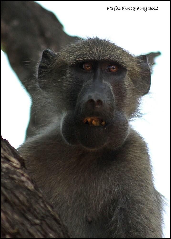 Baboon ! by Greg Parfitt
