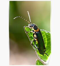 Soldier Beetle. Poster