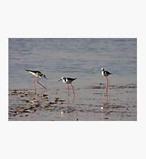 Black Winged Stilts. Photographic Print