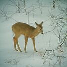 Deer Winter by Karol Livote