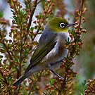 Silvereye Zosterops lateralis by David  Piko