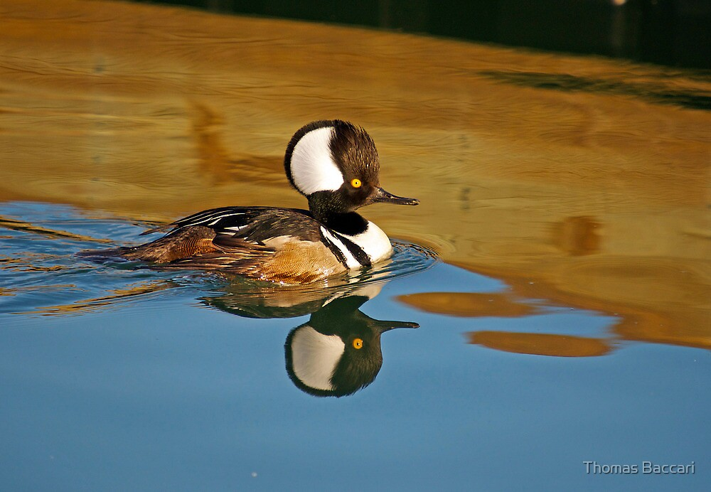 Male Hooded Merganser by TJ Baccari Photography