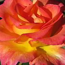 Autumn Sunset Rose by shutterbug2010
