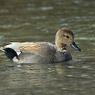 Gadwall Drake by Wayne Wood