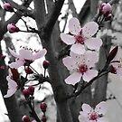 Plum Blossom Splash by Kristin Hamm