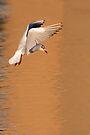 Hovering Black-headed Gull by Neil Bygrave (NATURELENS)