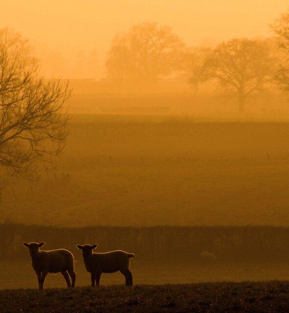 Sunset Lambs by JPassmore