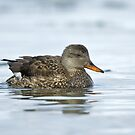 Female Gadwall by Wayne Wood