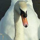 Swan swim by Meladana