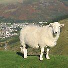 Rhondda sheep by Jane Corey