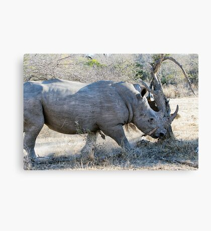 Charging Angry Rhino  Canvas Print