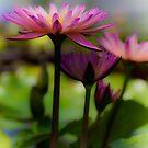 Pink Lotus 2 by Greg Earl
