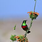 Sunbird on Wild Dagga Plant 2 by HippyDi