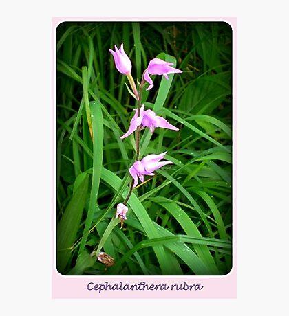 Cephalanthera rubra Photographic Print