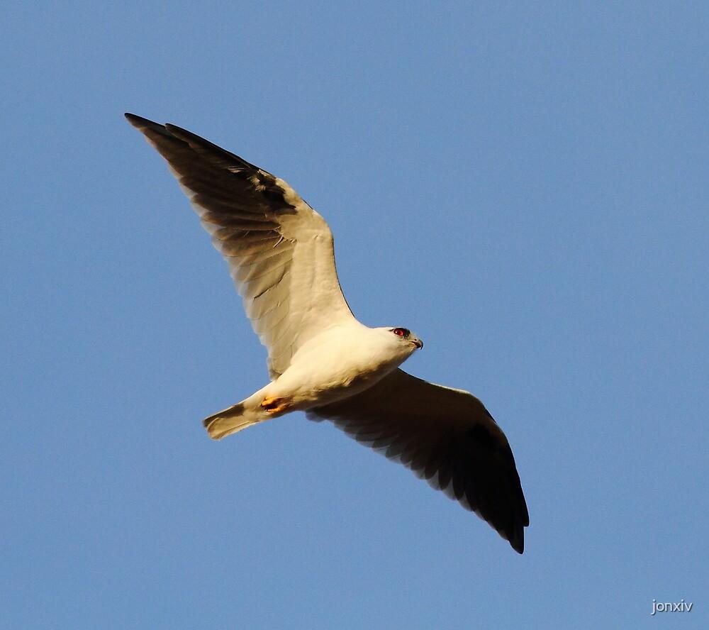 """Black Shouldered Kite"" by jonxiv"