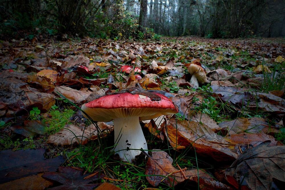Red Russulas ~ Wild Mushroom ~ by Charles & Patricia   Harkins ~ Picture Oregon
