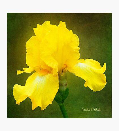 Painted Yellow Iris Photographic Print