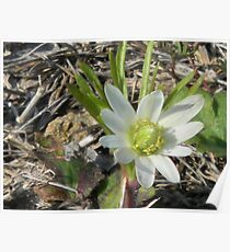 Windflower, Wood Anemone, Thimbleweed Poster