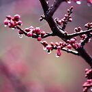 Raindrops and Cherry Blossoms. by Sangeetha A