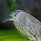 Juvenile Night Heron by Daniel  Parent