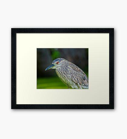 Juvenile Night Heron Framed Print