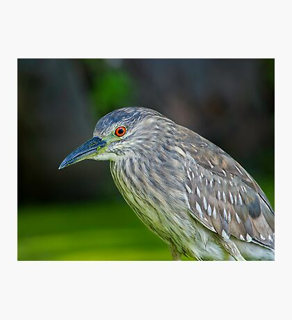 Juvenile Night Heron Photographic Print