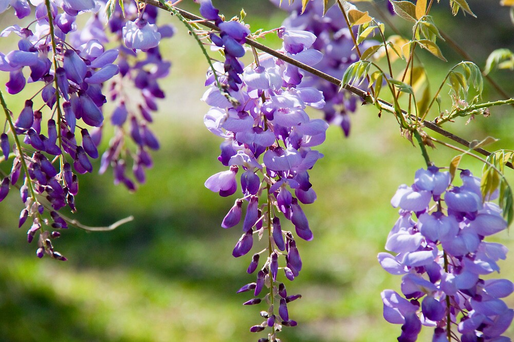 Spring Wisteria by Jay Reed