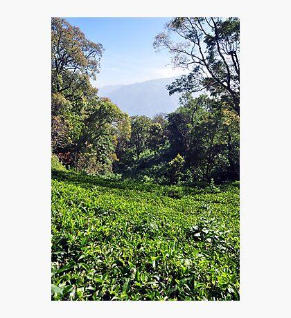 Tea Garden Photographic Print